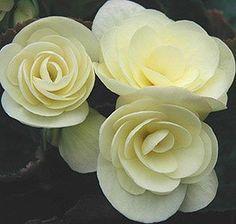 Begonia 'Solenia® Light Yellow'