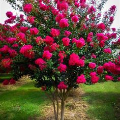 Crape Myrtle Tonto, for the top of the street. It is deciduous. Garden Shrubs, Lawn And Garden, Shade Garden, Trees And Shrubs, Trees To Plant, Dwarf Flowering Trees, Beautiful Gardens, Beautiful Flowers, Crepe Myrtle Trees