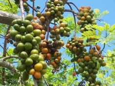 Hog Plums. Spondias mombin or Spondias purpurea var. lutea, is a tree, a species of flowering plant in the family Anacardiaceae. It is native to the tropical Americas, including the islands of the Caribbean. The tree has been naturalized in parts of Africa, India, Sri Lanka and Indonesia. It is rarely cultivated. The mature fruit has a leathery skin and a thin layer of pulp.