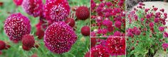 Scabiosa 'Crimson Clouds'