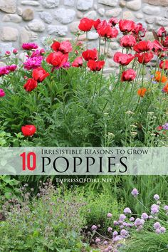 10 Irresistible Reasons to Grow Poppies 10 Irresistible Reasons To Grow Poppies in Your Garden. These beautiful flowers will transform your spring garden. The post 10 Irresistible Reasons to Grow Poppies appeared first on Garden Ideas. Outdoor Plants, Garden Plants, Outdoor Gardens, Beautiful Gardens, Beautiful Flowers, Exotic Flowers, Purple Flowers, Summer Flowers, Organic Gardening