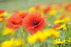Field Poppies by Jacky Parker on 500px