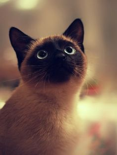 Sweet siamese cat animals eyes cat up macro close up siamese looking. Beautiful, Bill.