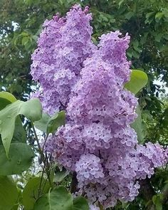 love the smell of lilacs Lilac Tree, Lilac Flowers, Spring Flowers, Beautiful Flowers, Flower Pictures, Dream Garden, Trees To Plant, Garden Inspiration, Beautiful Gardens