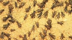 Cricket Farming - An Unexpectedly Lucrative Profession - as part of the news series by GeoBeats. In today's tough economy, people are exploring all different. Edible Insects, Bugs And Insects, Bearded Dragon Tank Setup, Cricket Farming, Commercial Farming, Best Knots, Worm Farm, Fishing Adventure, Chickens Backyard