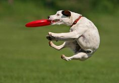 How to teach a dog to play flying disc.