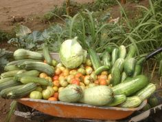 Our organic vegetable from our garden. Come and taste that at Villa Morgana Cape Verde Resort!!!!!