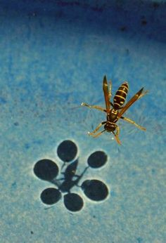 wasp 2 on the water surface - drinking [flickr: burgenschenker [ in slow motion ]]