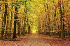 Hayedo en una de las rutas por la Selva/Valle de Irati desde Orbaitzeta (Navarra), España.
