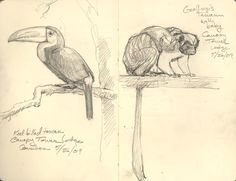 Keel-billed toucan and Geoffrey's tamarin mother and baby. Drawn from the top deck of the Canopy Tower Lodge.