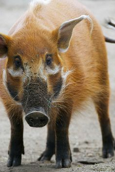 Red River Hog. | Photos cannot be used or taken without my p… | Flickr - Photo Sharing!