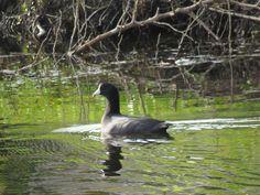 Bird Photos, Birding Sites, Bird Information: AMERICAN COOT, TAMARACK EXOTIC DUCK POND, LAUDERHI...