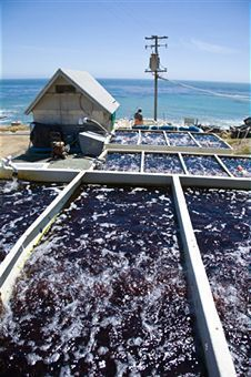 Oysters and Mussels are the easiest for home fish farming because of two main things. Secondly, they filter the tank water which makes them environment friendly too.