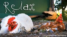 Relax With Chicken – chicken watching in the countryside Relax Video, Relaxing Gif, Countryside, Rooster, The Creator, Smartphone, Pure Products, Chicken, Instagram