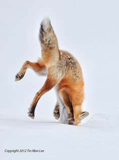 Red fox pouncing in snow.  Yellowstone National Park.  Wildlife photography by Tin Man Lee.