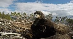Following White-Tailed Eagles From Chicks To Maturity