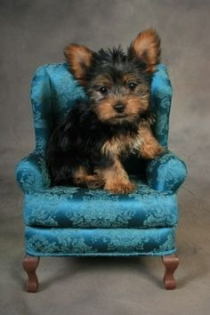 The Popular Pet and Lap Dog: Yorkshire Terrier - Champion Dogs Teacup Yorkie, Teacup Puppies, Cute Puppies, Cute Dogs, Dogs And Puppies, Teacup Pig, Poodle Puppies, Yorkie Terrier, Yorkshire Terrier Puppies
