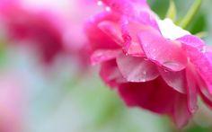 rosas de color rosa, pétalos, gotas de agua, gotas de agua, flor in Flores. Toneladas de calidad HD gratis para descargar fondos de pantalla y fondos de escritorio y móviles