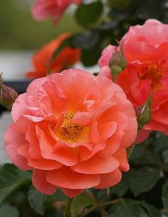 Above All ~ Climbing Rose