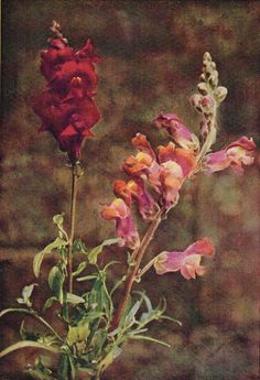Snapdragon - Antique 1912 Botanical Wild Flower Print by H Essenhigh Corke
