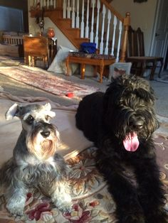Little Zackary a mini schnauzer 17lbs sitting next to Logan a 130lbs giant Schnauzer what a difference in size but both have wonderful hearts❤️ best dogs ever✨