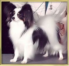 """""""Kirby"""" Papillon, Westminster Best of Show When I fell in love wirh Papillons! Little Puppies, Little Dogs, Dogs And Puppies, Doggies, Smartest Dog Breeds, Papillon Dog, Supernatural Beings, Pet Id, Love Pet"""