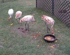 Ever wonder what Whooping Cranes can do to a pumpkin? Operation Migration is stopped here in LaSalle County this week (10/17/12)