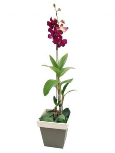Denphal: Com cores variadas, esta orquídea normalmente apresenta dois tons. Varia de 40 a 60 cm de altura e possui uma floração que vai de seis até 15 flores, que duram pelo menos 40 dias. Geralmente, floresce uma vez ao ano. Deve ficar à meia-sombra, evitando o sol direto entre 11h e 14h.   A rega depende do substrato que vem no vaso: casca de madeira absorve mais rápido a água, pedindo regas mais frequentes; já se for um musgo, fibra de coco ou xaxim, ela pode ser mais espaçada, em torno…