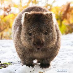 Wombat in the snow Cute Wombat, Baby Wombat, Animals And Pets, Baby Animals, Funny Animals, Cute Animals, Cairns, Tasmania, Planeta Animal
