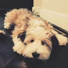 Right breed for you? Tibetan Terrier information including personality, history, grooming, pictures, videos, how to find a Tibetan Terrier and AKC standard.
