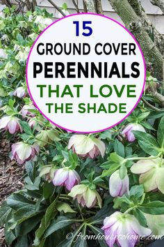 15 Stunning Perennial Ground Cover Plants That Thrive in the Shade - Gardening @ From House To Home These shade loving perennial ground cover plants are AWESOME! So many pretty flowers that will look great in my backyard shade garden. Shade Loving Shrubs, Shade Shrubs, Shade Loving Flowers, Plants That Love Shade, Part Shade Plants, Part Shade Flowers, Part Shade Perennials, Flowers Perennials, Flower Plants