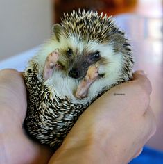 2 month old #hedgehog owned by my niece.