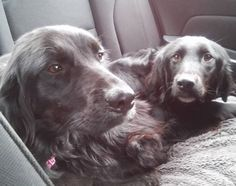 LIBBY & RIZZO - sweet, rather timid, 1.5 year old litter mates, English Setter/Flat Coated Retriever mix females available for adoption from Above and Beyond English Setter Rescue.