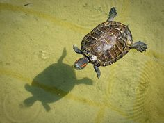 Floating turtle