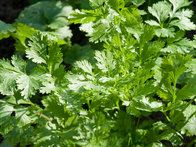 Essential for Asian cooking, cilantro is easy to grow from seed. Sow in succession for a continuous supply, since it is prone to bolting. Choose a cultivar, such as 'Calypso,' bred for the leaves rather than seeds.