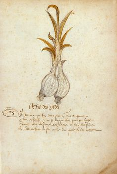 Garlic of the Indies | Histoire Naturelle des Indes | ca. 1586 | The Morgan Library & Museum