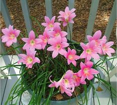 The Pink Fairy Lily (Zephyranthes robustus), also known as the Pink Rain Lily, Pink Zephyr Lily, and Pink Magic Lily. Rock Garden Plants, Garden Bulbs, Garden Types, Butterfly Flowers, Pink Flowers, Butterflies, Summer Flowering Bulbs, Rain Lily, Lily Bulbs
