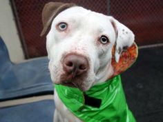 TO BE DESTROYED 4/12/14 Manhattan Center - P  My name is STIRRUPS. My Animal ID # is A0995671. I am a female white and brown pit bull mix. The shelter thinks I am about 3 YEARS old.  I came in the shelter as a STRAY on 04/03/2014 from NY 10460, owner surrender reason stated was STRAY. https://www.facebook.com/photo.php?fbid=782644925081722&set=a.611290788883804.1073741851.152876678058553&type=3&theater