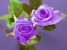 My Secret Garden, Purple Roses, Bellisima, Flower Arrangements, Spring, Green, Flowers, Plants, Inspiration