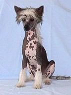 We have a new family member, a hairless chinese crested named Zoey.  Here's some info on them.