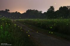 This is a long exposure of fireflies at night in Iowa. Photo by National Wildlife Photo Contest entrant Radim Schreiber.
