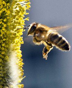 Honigspender Biene  | Foto: DPA Bees