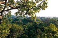 Una ceiba gigante emerge en el dosel de la selva de tierra firme