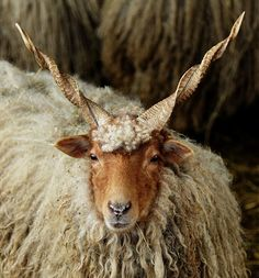 Originating in Hungary, the Racka has existed since at least the 1800, when the first registry was established. It is a hardy, multi-purpose breed. Their wool is long and coarse - rams 132 lb (60 kg). The breed's unique appearance + quiet disposition would make it a desirable animal for hobby situations.