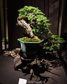 Dan Robinson Mountain Hemlock Bonsai Photo by Naedoko Bonsai