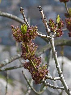 Saarni, Fraxinus excelsior - Puut ja pensaat - LuontoPortti