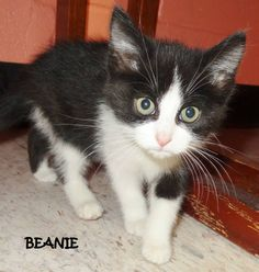 ADOPTED! AVAILABLE NOW! STRAY Tag# 5238 Name is Beanie  Black/White  Male  Approx. 7-8 weeks old   Located at 2396 W Genesee Street, Lapeer, Mi. For more information, please call 810-667-0236   https://www.facebook.com/267166810020812/photos/a.750371675033654.1073742095.267166810020812/750371908366964/?type=3&theater