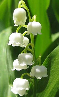 Lilly of the Valley (Convallaria majalis) sweet smelling early spring flower which spreads quickly as groundcover. Caution: poisonous