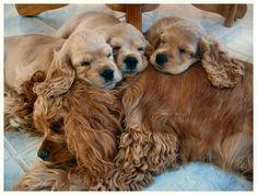 Mom Cocker Spaniel and Babies Sleeping Together  Love this - so sweet!