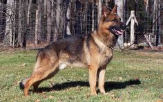 The German Shepherd, is a breed of large-sized dog that originated in Germany. German Shepherds are a relatively new breed of dog, with their origin dating to 1899. There are different types of GSDs; American Show, European Show, European Working, Czech... American bred and European Show bred dogs tend to have the extreme slope in the back which causes many health problems. European Working and Czech bred do not have this defect.